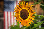 Sunflower with American flag.