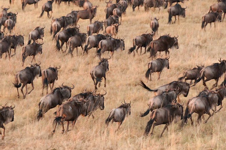 More than one million wildebeests, half a million gazelles, and 200,000 zebras constantly on the move - they're all in search of fresh grass and water.  Covering about 10,000 square miles of land teeming with life, the Serengeti plains in the heart of East  Africa is home not only to some of the most diverse wildlife on the planet, but the start and finish line for one of the world's last great migrations.
