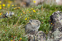 Young American pika (Ochotona princeps) by cinquefoil wildflowers growing near its boulder field home.  Beartooth Mountains, Wyoming/Montana border.  Summer.  This photo was taken in alpine setting at around 11,000 feet (3350 meters) elevation.