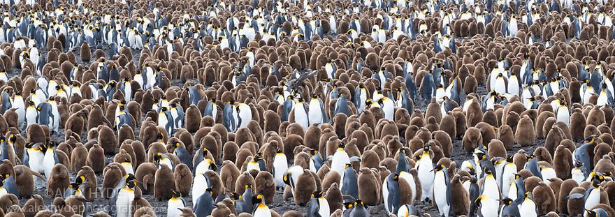 King Penguin (Mirounga leonina) colony. Salisbury Plane, South Georgia. November. Digitally stitched panoramic image.
