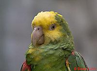 0523-07yy  Yellow-headed Amazon Parrot - Amazona ochrocephala - © David Kuhn/Dwight Kuhn Photography