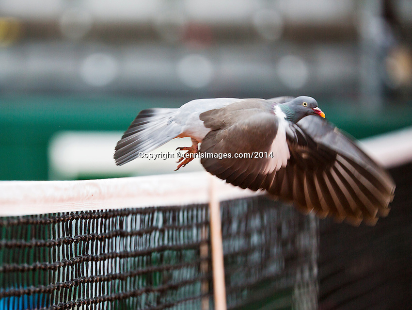 France, Paris, 28.05.2014. Tennis, French Open, Roland Garros, Pigeon on the net<br /> Photo:Tennisimages/Henk Koster