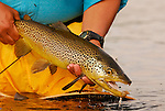 Brown trout and fly.