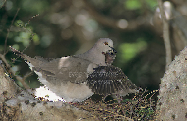White-tipped Dove, Leptotila verreauxi,adult with young in nest in cactus, The Inn at Chachalaca Bend, Cameron County, Rio Grande Valley, Texas, USA, May 2004