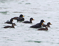Black scoter flock, adult males and females