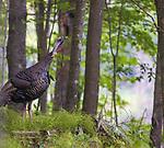 Jake wild turkey preparing to roost in a northern Wisconsin woodland.