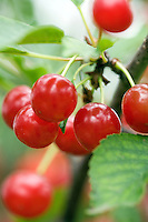 Bunch of Sauer cherries hanging of a tree branc