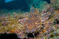Ornate Wobbegong shark, Orectolobus ornatus, Gold Coast, Queensland, Australia, Pacific Ocean