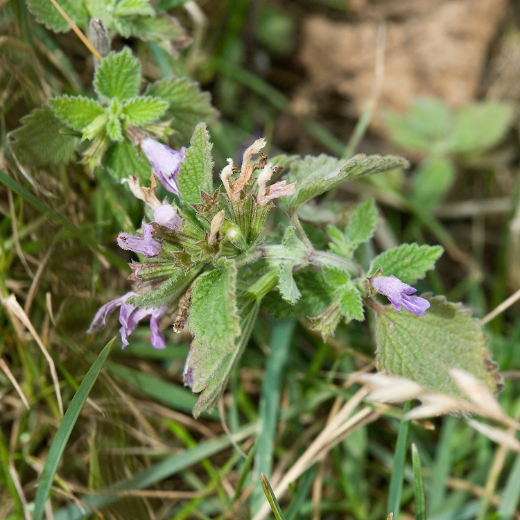 Black horehound (Ballota nigra), south-west London, mid July. Also known as stinking Roger.