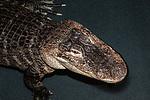 american alligator medium shot facing right in water