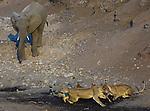 African lions and African elephant, Mashatu, Botswana