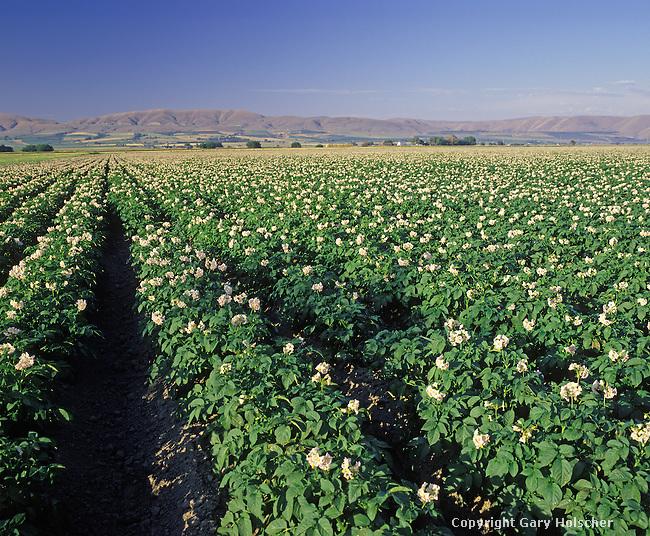 Potato field in bloom.  Kittitas Co. WA
