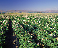 Potato field in bloom.  Kittitas Co. WA