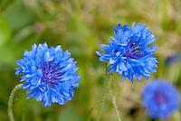 Blue flowers of bachelor buttons Centaurea cyanus 'Blue Boy'