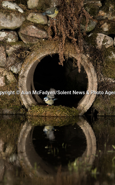 Pictured: A mother and young blue tit peek out of the tunnel<br /> <br /> A series of animals are perfectly reflected in a pool of water as they peek their heads out of a tunnel.<br />    The array of wildlife - from a red squirrel to a badger - seek refuge from the hot weather in the drainage pipe.<br />  <br /> Visitors to the 18-inch wide tunnel and the surrounding small pool include a blackbird, a great spotted woodpecker, an otter and a family of blue tits.    Photographer Alan McFadyen pictured the animals near his home in Kirkcudbright, Scotland.   SEE OUR COPY FOR DETAILS<br /> <br /> Please byline: Alan McFadyen/Solent News<br /> <br /> © Alan McFadyen/Solent News & Photo Agency<br /> UK +44 (0) 2380 458800