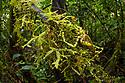 Moss-mimicking Katydid / Bush Cricket (Tettigoniidae) camouflaged amongst cloud forest understory vegetation. 1600 metres altitude, Manu Biosphere Reserve, Peru. November.