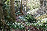 Naturalising Snowdrops (Galanthus)