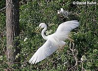 0312-0817  Flying Great Egret Displaying Breeding Plumage, Ardea alba © David Kuhn/Dwight Kuhn Photography