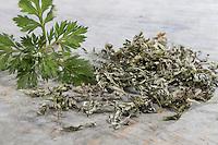 Gewöhnlicher Beifuß, Beifuss, Blatt, Blätter getrocknet, Artemisia vulgaris, Mugwort, common wormwood, L'Armoise commune, Armoise citronnelle, Artémise