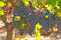 A cabernet Sauvignon vine, circa 35 years old with ripe grape bunches  - Chateau Belgrave, Haut-Medoc, Grand Crus Classe 1855