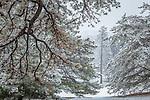 Evergreens at the Arnold Arboretum in the Jamaica Plain neighborhood, Boston, Massachusetts, USA