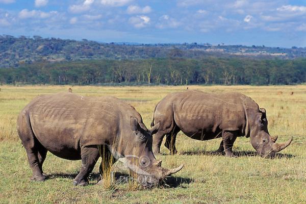 White Rhinoceros grazing in Lake Nakuru National Park, Kenya.