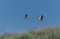 512660003 a pair of wild sandhill cranes grus canadensis take flight at dismal swamp modoc county california