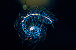 Scaled worm larva Polynoidae , Black Water Diving; Jellyfish; Plankton; larval crustaceans; larval fish; marine behavior; pelagic creatures; pelagic larval marine life; plankton creatures; underwater marine life; vertical migration marine creatures