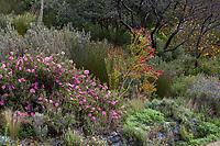 Cistus x purpureus Purple Rock Rose flowering in summer-dry, drought tolerant mixed border in Blake Garden