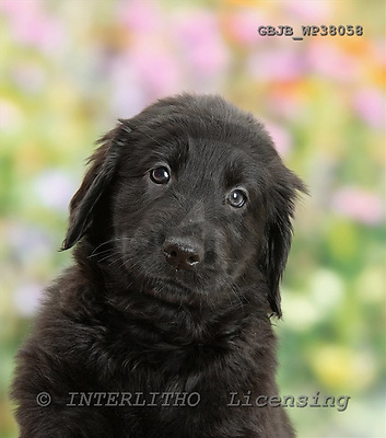 Kim, ANIMALS, dogs, photos+++++,GBJBWP38058,#a# Hunde, perros