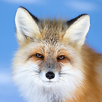 Yellowstone Winter 2016 Foxes