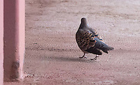 Oriental Turtle Dove joined the ship in the Sea Japan, May 8, 2016 along with five other Oriental Turtle Doves.  The others left the ship when it was east of Kamchatka Peninsula