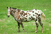 Appaloosa horse in green grass