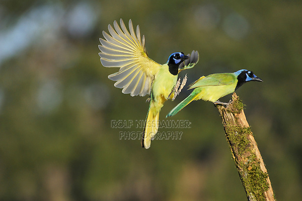 Green Jay (Cyanocorax yncas), pair, Dinero, Lake Corpus Christi, South Texas, USA