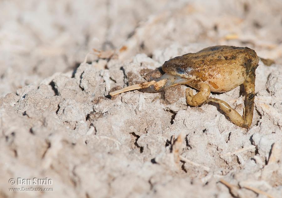 Dead Pacific chorus frog, Hyla regilla, at Saratoga Spring in Death Valley National Park, California