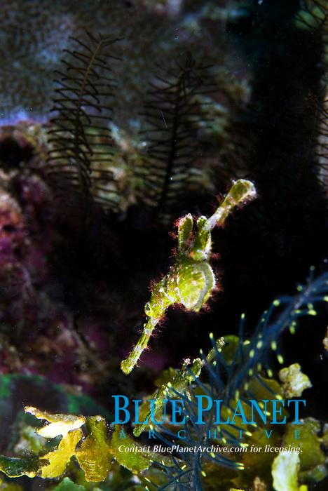 Halimeda ghost pipefish, Solenostomus halimeda. Raja Ampat, West Papua, Indonesia, Pacific Ocean