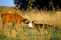 Calf cuddles with cow