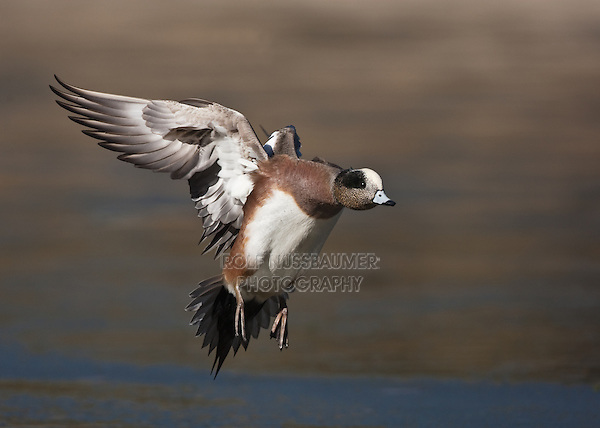 American Wigeon (Anas americana), male in flight, Socorro, New Mexico, USA