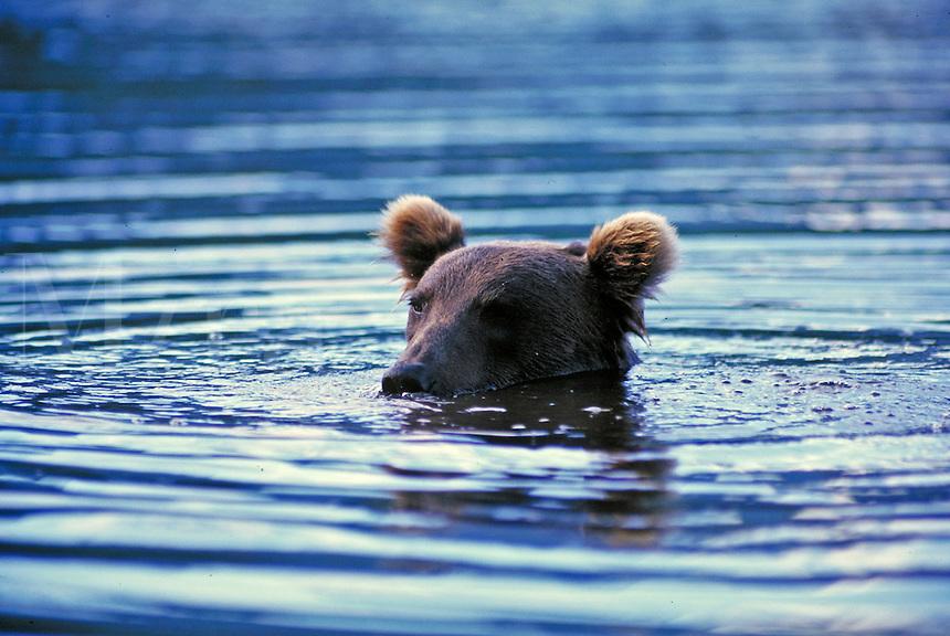 Brown bear peeking out of water, Wolverine Creek, Alaska. Alaska United States Wolverine Creek.