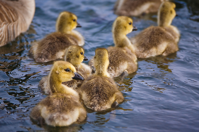 Canada Geese chicks swimming with parents on a pond in Montana