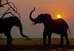 Elephants congregate as sun sets.