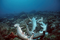 scalloped hammerhead sharks, Sphyrna lewini, killed by shark net illegally set in Galapagos Marine Reserve (sharks cut from net by divers), Galapagos, Ecuador, Pacific Ocean