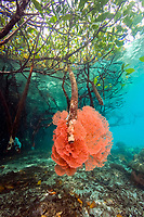 sea fan, Acabaria sp. growing on red mangrove prop roots, Rhizophora mangle, Raja Ampat, Irian Jaya, West Papua, Indonesia, Indo-Pacific Ocean