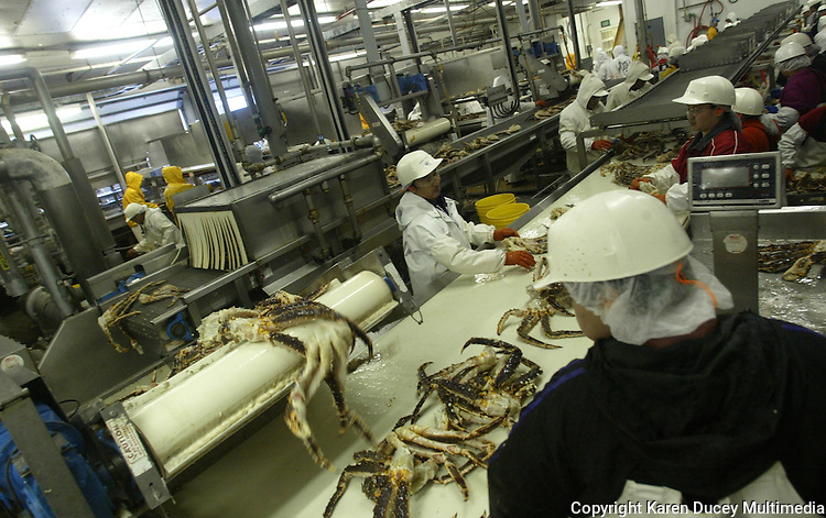 10/23/03 crab NWS::  Processor Martha Oliva from Mexico works on the packing line at the Unisea plant in Dutch Harbor, AK.  Oliva says she earns about $20,000 year but has no expenses while working at the plant and sends her money back to her family in Mexico.  Caught in Unisea employs about 1200 processors for a 5 month contract (on average) during its peak months in January and February.  The processors representing around 12 different countries, are supplied with airfare from Seattle, food, laundry service, meals, housing, and medical care from Unisea so they're cost of living is minimal and many are able to save their money.