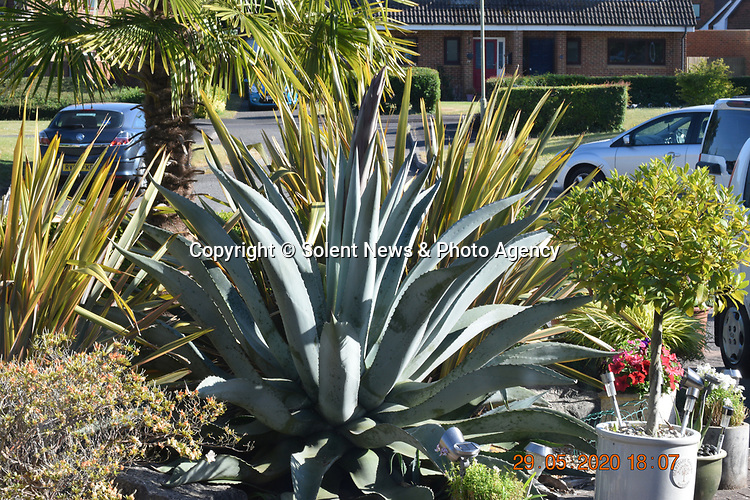 Pictured:  The agave plant in Julie Crook's front garden of her home in Andover, Hampshire on the 29th May 2020 as the stem sprouted.<br /> <br /> An exotic 'tequila plant' has suddenly rocketed to 25ft in height after mysteriously sprouting in a couple's front garden after two decades lying dormant.  The giant agave's stalk unexpectedly began shooting up 12 weeks ago and now towers over owners Rob and Julie Crook's two-storey home in a little cul-de-sac.<br /> <br /> The grandparents-of-two have been left stunned by the plant's 'Jack and the Beanstalk' type growth after planting it in 2005.  Mrs Crook was gifted a six-inch pup - an offspring of the parent plant - by a friend 20 years ago after her fascination with the asparagus-like shrub.<br /> <br /> But the 59-year-old said she never expected the agave to grow to such heights at the front of the couple's home in the small Hampshire village of Charlton.  SEE OUR COPY FOR DETAILS.<br /> <br /> © Solent News & Photo Agency<br /> UK +44 (0) 2380 458800