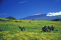 Meadows with flowers and cactus on the Big Island of Hawaii, with snow capped Mauna Kea in the distance