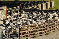 Swaledale ewes, Middle Lee, Abbeystead, Lancashire.