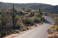 A road winds through the hills among Saguaro cactus in the Cactus Forest area of Saguaro National Park (Rincon Mountain District) near Tucson, Arizona, USA.