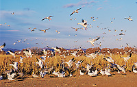 Snow Goose, Chen caerulescens,in flight, Bosque del Apache National Wildlife Refuge , New Mexico, USA, December 2003