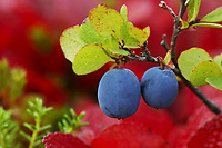 Ripe Blueberries and red bearberry autumn foliage on the tundra of Denali National Park, Alaska